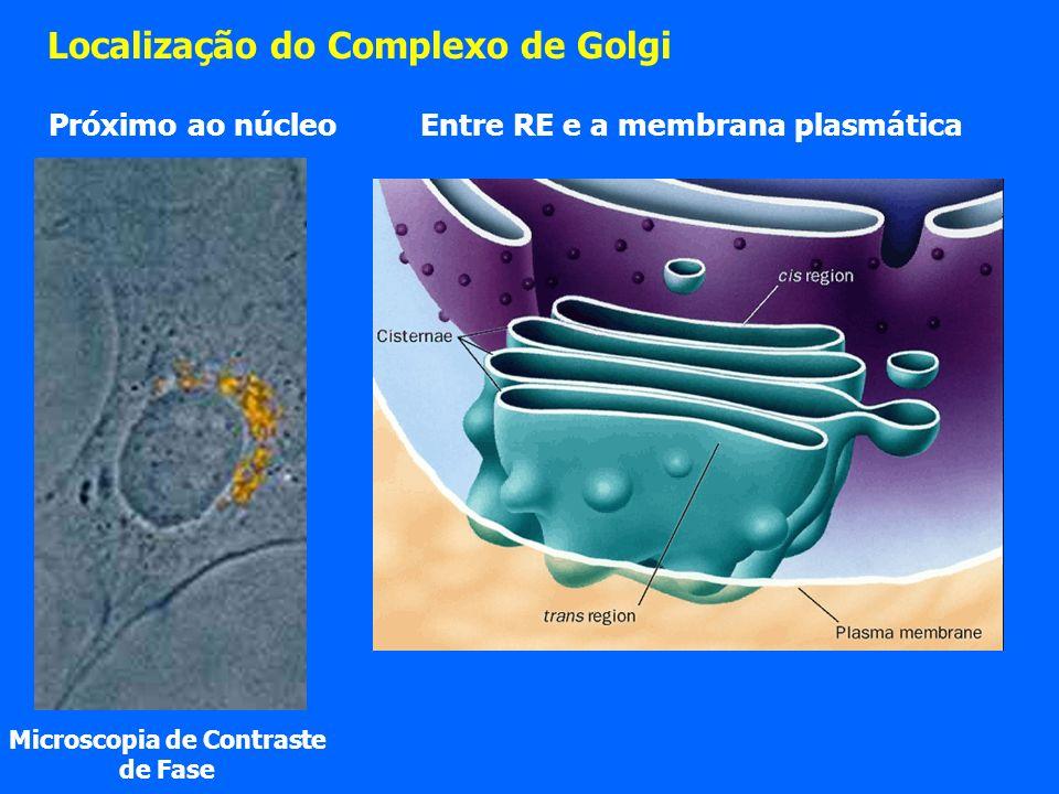 Localização do Complexo de Golgi Microscopia de Contraste de Fase Entre RE e a membrana plasmática Próximo ao núcleo
