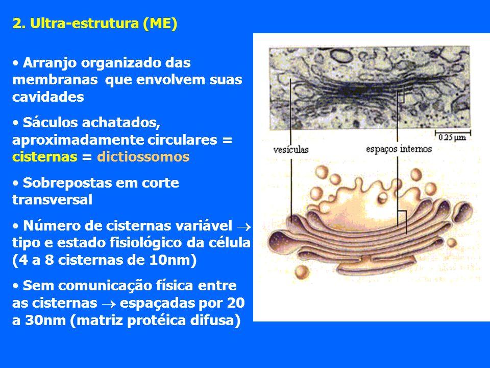 2. Ultra-estrutura (ME) Arranjo organizado das membranas que envolvem suas cavidades Sáculos achatados, aproximadamente circulares = cisternas = dicti