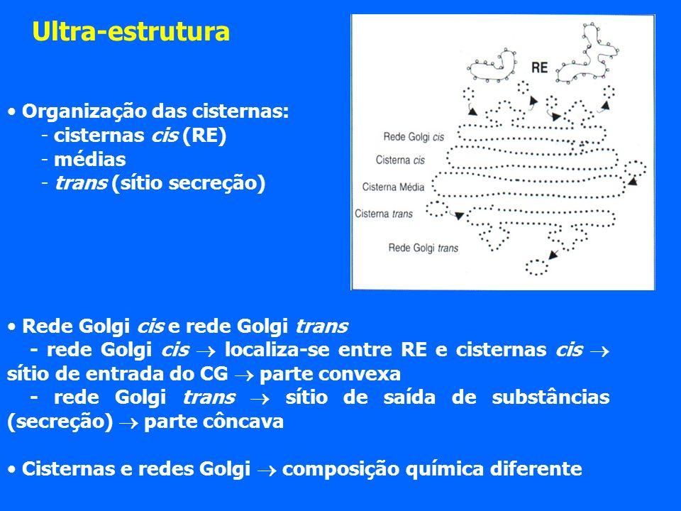 Organização das cisternas: - cisternas cis (RE) - médias - trans (sítio secreção) Rede Golgi cis e rede Golgi trans - rede Golgi cis localiza-se entre RE e cisternas cis sítio de entrada do CG parte convexa - rede Golgi trans sítio de saída de substâncias (secreção) parte côncava Cisternas e redes Golgi composição química diferente Ultra-estrutura