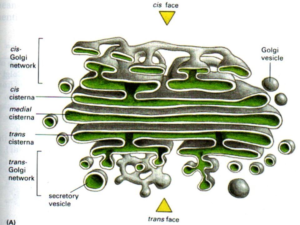 Resumo dos processos que ocorrem no Complexo de Golgi