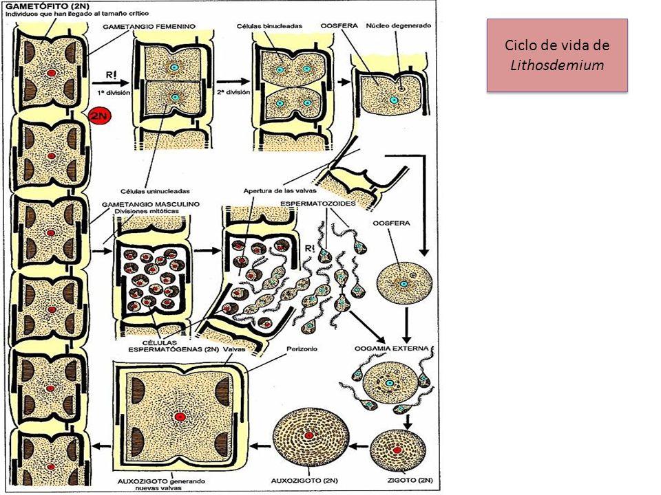Ciclo de vida de Lithosdemium