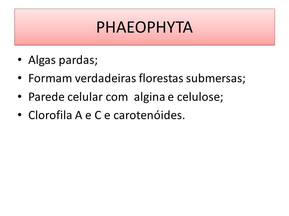 PHAEOPHYTA Algas pardas; Formam verdadeiras florestas submersas; Parede celular com algina e celulose; Clorofila A e C e carotenóides.