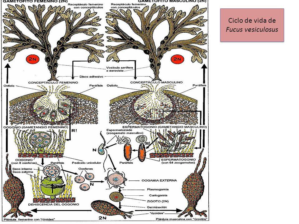Ciclo de vida de Fucus vesiculosus