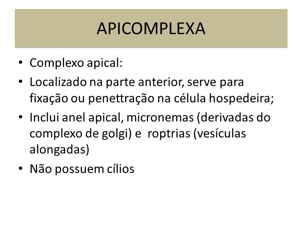 APICOMPLEXA Complexo apical: Localizado na parte anterior, serve para fixação ou penettração na célula hospedeira; Inclui anel apical, micronemas (der