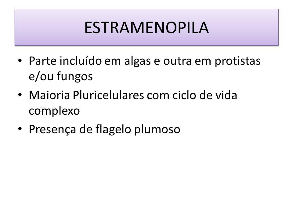 ESTRAMENOPILA Parte incluído em algas e outra em protistas e/ou fungos Maioria Pluricelulares com ciclo de vida complexo Presença de flagelo plumoso
