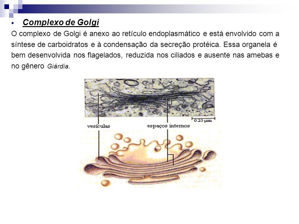 Complexo de Golgi O complexo de Golgi é anexo ao retículo endoplasmático e está envolvido com a síntese de carboidratos e à condensação da secreção pr