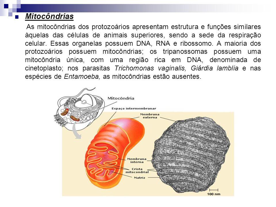 Mitocôndrias As mitocôndrias dos protozoários apresentam estrutura e funções similares àquelas das células de animais superiores, sendo a sede da resp