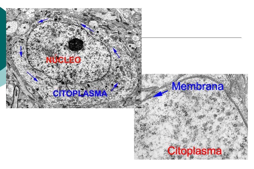 Núcleo Envoltório nuclear: Separa o núcleo do citoplasma ME: duas membranas separadas pela cisterna perinuclear MO mostra camada de cromatina que o reveste internamente Complexo do poro ( transporte seletivo para fora e dentro)
