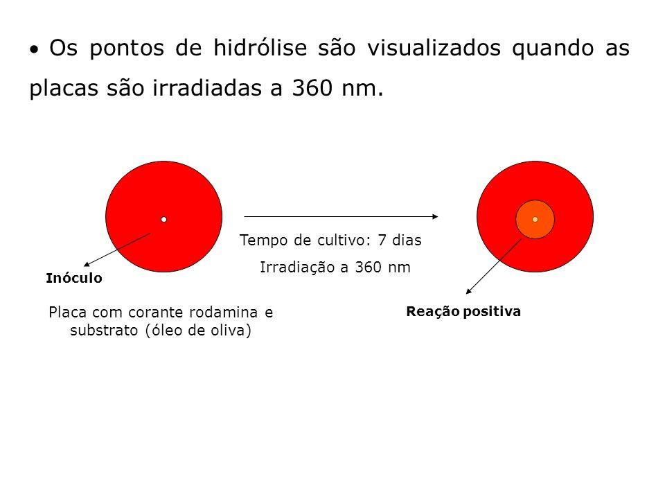 Os pontos de hidrólise são visualizados quando as placas são irradiadas a 360 nm. Placa com corante rodamina e substrato (óleo de oliva) Tempo de cult