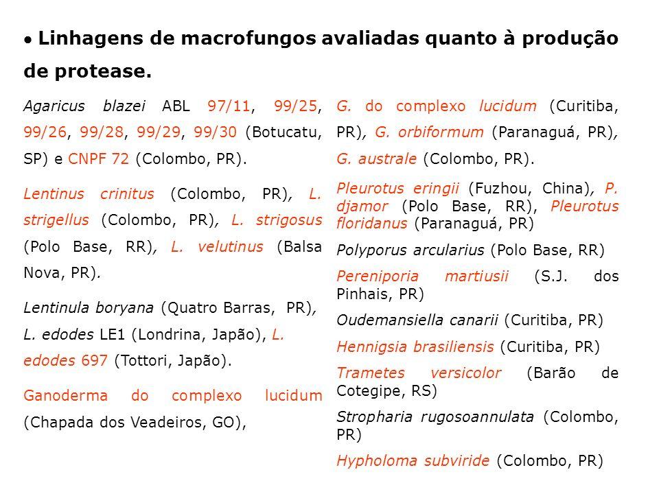 Linhagens de macrofungos avaliadas quanto à produção de protease. Agaricus blazei ABL 97/11, 99/25, 99/26, 99/28, 99/29, 99/30 (Botucatu, SP) e CNPF 7
