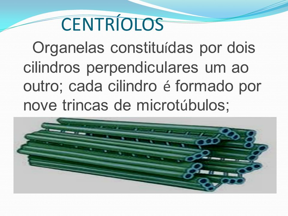 CENTRÍOLOS Organelas constitu í das por dois cilindros perpendiculares um ao outro; cada cilindro é formado por nove trincas de microt ú bulos;