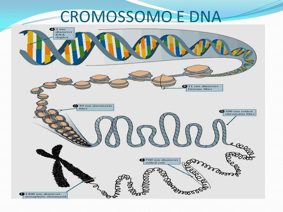 CROMOSSOMO E DNA
