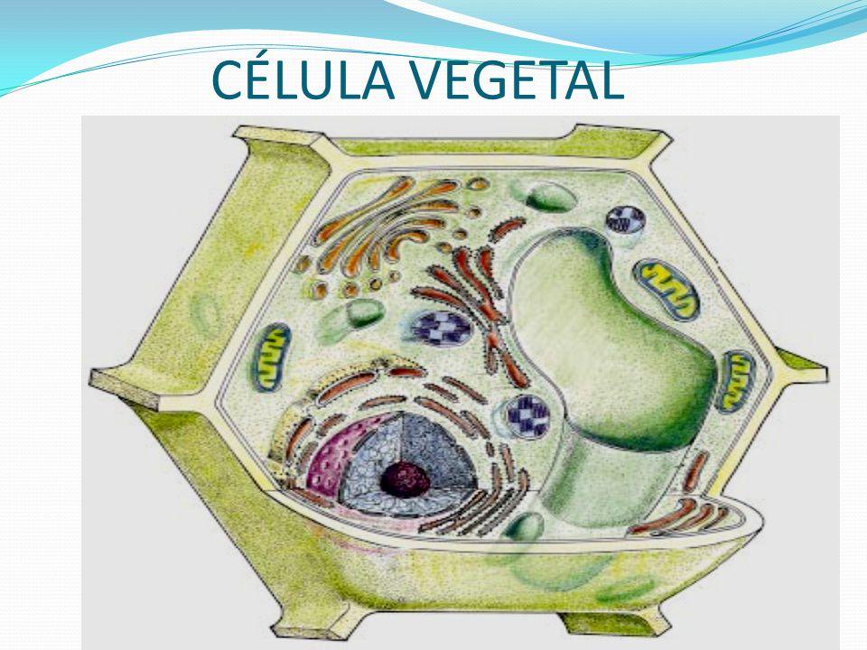 CLOROPLASTOS Produz a clorofila,substância que absorve a energia luminosa para as plantas e algas realizarem a fotossíntese.