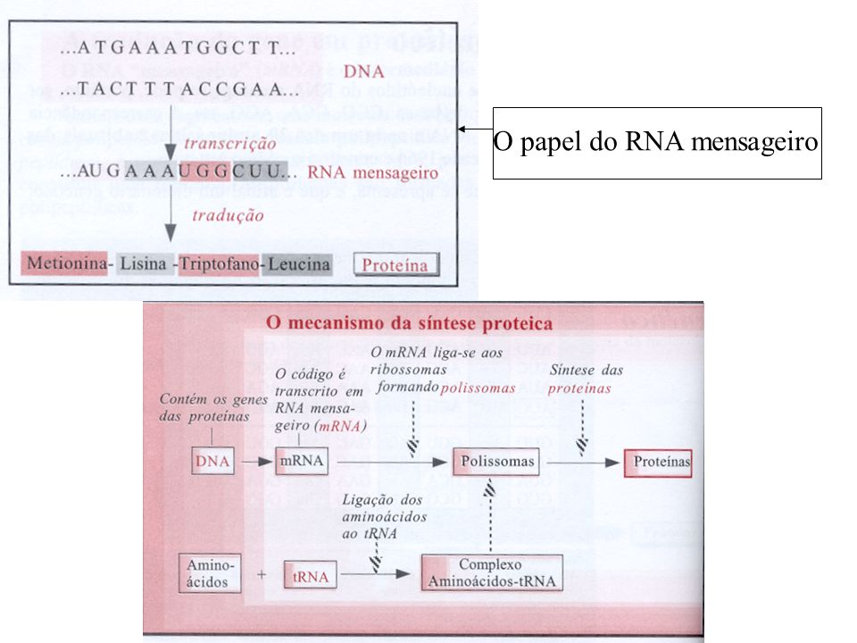 O papel do RNA mensageiro