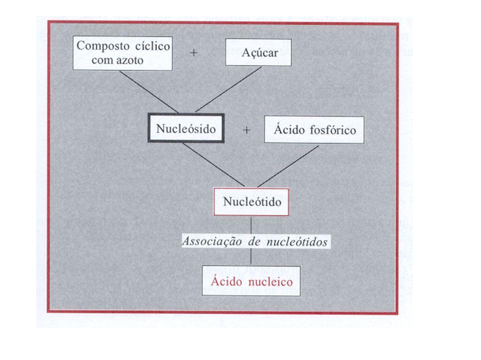 Os ácidos nucleicos- NUCLEOPROTEÍNAS As bases azotadas que entram na constituição dos ácidos nucleicos são derivadas das estruturas: - purina => bases púricas - pirimidina => bases pirimídicas bases púricas do DNA => Adenina e Guanina bases pirimídicas do DNA => Timina e Citosina bases púricas => Adenina e Guanina bases pirimídicas => Citosina e Uracilo São apenas dois os açúcares (simples) dos ácidos nucleicos: - a ribose no RNA (ribonucleico) - a desoxirribose no DNA (desoxirribonucleico) Ácido fosfórico – composto de fósforo, oxigénio e hidrogénio (H 3 PO 4 )