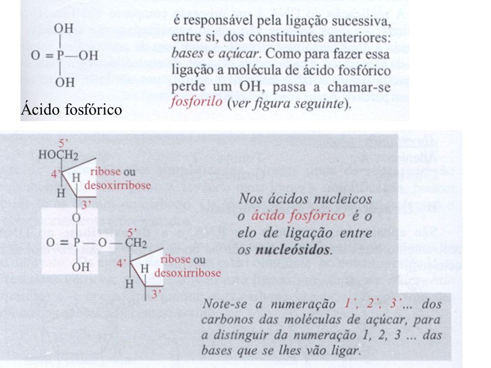 Os ácidos nucleicos- NUCLEOPROTEÍNAS A dupla hélice do DNA O DNA é na maior parte dos organismos uma ácido nucleico bicatenário, Por isso é constituído não por uma mas por duas cadeias enroladas uma na outra => dupla-hélice do DNA As duas cadeias estão ligadas uma à outra por bases azotadas