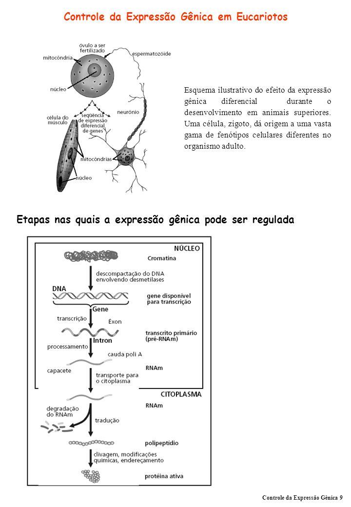 Controle da Expressão Gênica em Eucariotos Esquema ilustrativo do efeito da expressão gênica diferencial durante o desenvolvimento em animais superiores.
