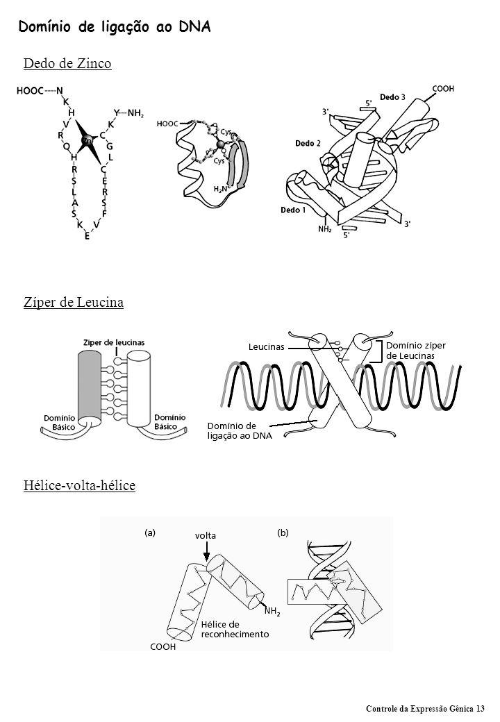 Domínio de ligação ao DNA Dedo de Zinco Zíper de Leucina Hélice-volta-hélice Controle da Expressão Gênica 13