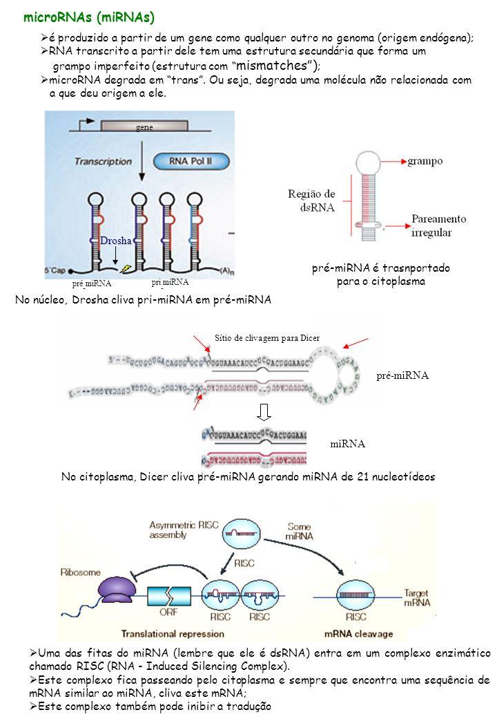 microRNAs (miRNAs) é produzido a partir de um gene como qualquer outro no genoma (origem endógena); RNA transcrito a partir dele tem uma estrutura secundária que forma um grampo imperfeito (estrutura com mismatches) ; microRNA degrada em trans.