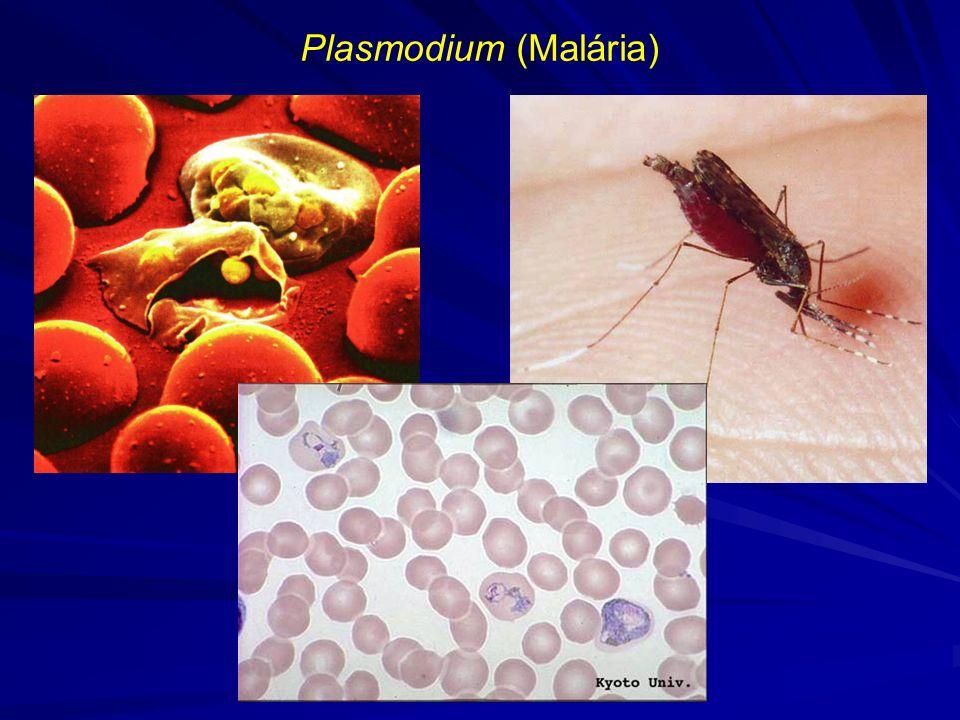 Plasmodium (Malária)