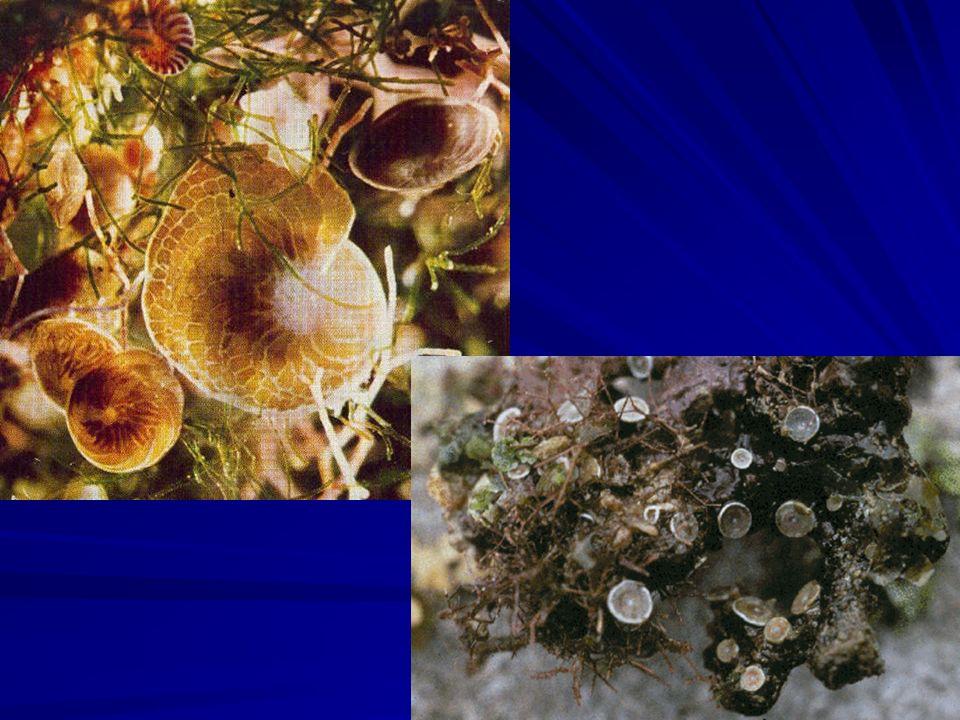 Filo Ciliophora Mais homogêneo dos filos de Protista; Possuem cílios como estruturas de locomoção; A maioria possui boca ciliar ou citóstoma; Possuem dois tipos de núcleos: Macronúcleo: vegetativo; Micronúcleo: reprodutivo.