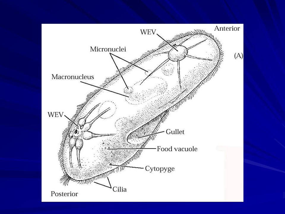 Ciclo de vida geral dos apicomplexos Gametas Zigoto Merogonia Esporozoíto Merozoítos Gametogonia Esporogonia