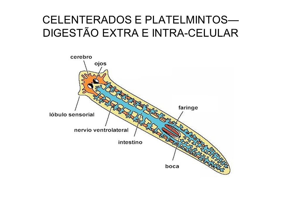 CELENTERADOS E PLATELMINTOS DIGESTÃO EXTRA E INTRA-CELULAR