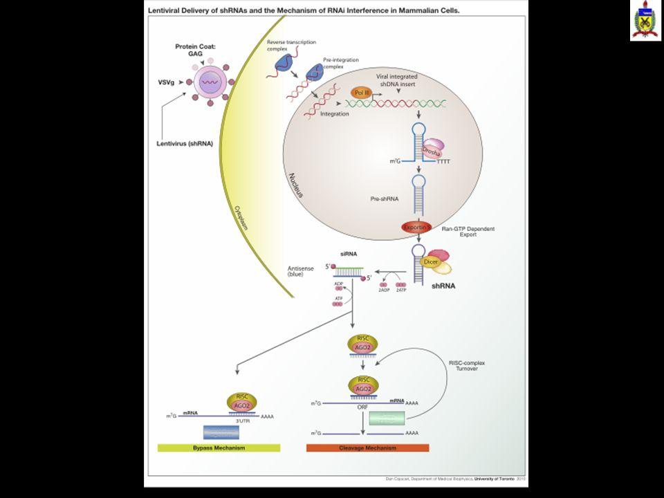A enzima Dicer corta RNA de dupla fita, de modo a formar siRNA ou miRNA.