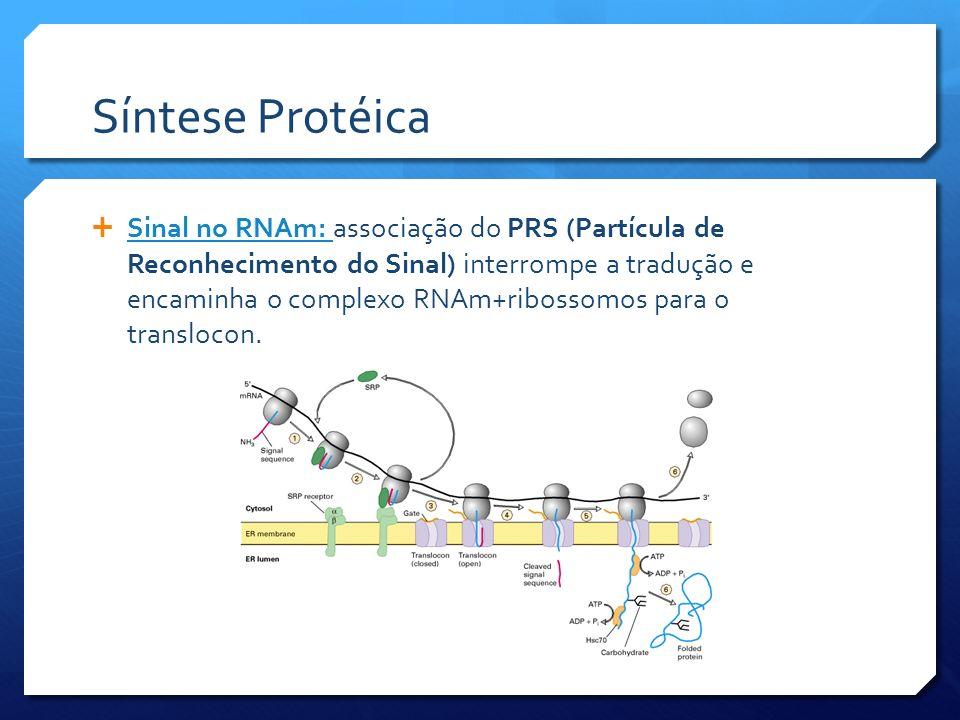 Síntese Protéica Sinal no RNAm: associação do PRS (Partícula de Reconhecimento do Sinal) interrompe a tradução e encaminha o complexo RNAm+ribossomos para o translocon.