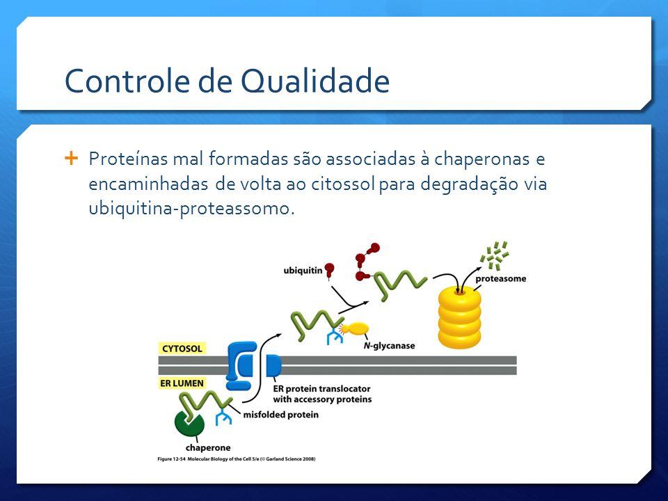 Controle de Qualidade Proteínas mal formadas são associadas à chaperonas e encaminhadas de volta ao citossol para degradação via ubiquitina-proteassomo.