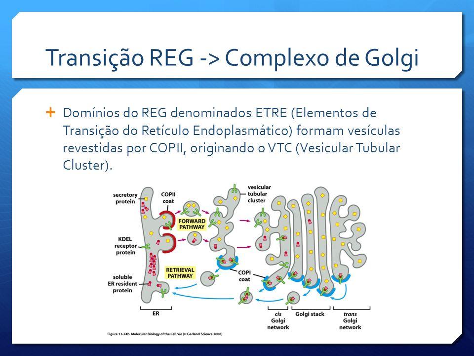 Transição REG -> Complexo de Golgi Domínios do REG denominados ETRE (Elementos de Transição do Retículo Endoplasmático) formam vesículas revestidas por COPII, originando o VTC (Vesicular Tubular Cluster).