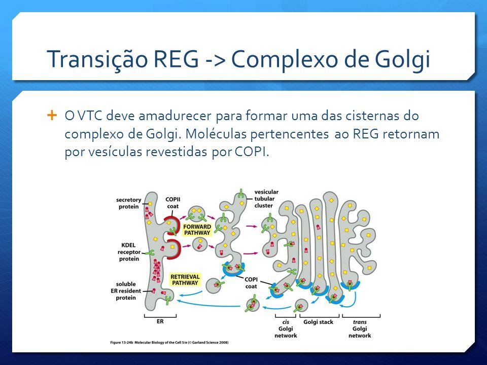 Transição REG -> Complexo de Golgi O VTC deve amadurecer para formar uma das cisternas do complexo de Golgi. Moléculas pertencentes ao REG retornam po