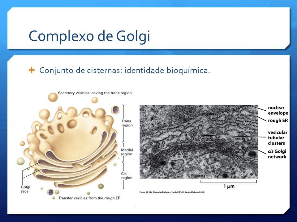 Complexo de Golgi Conjunto de cisternas: identidade bioquímica.