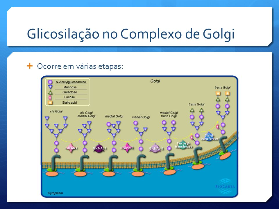 Glicosilação no Complexo de Golgi Ocorre em várias etapas: