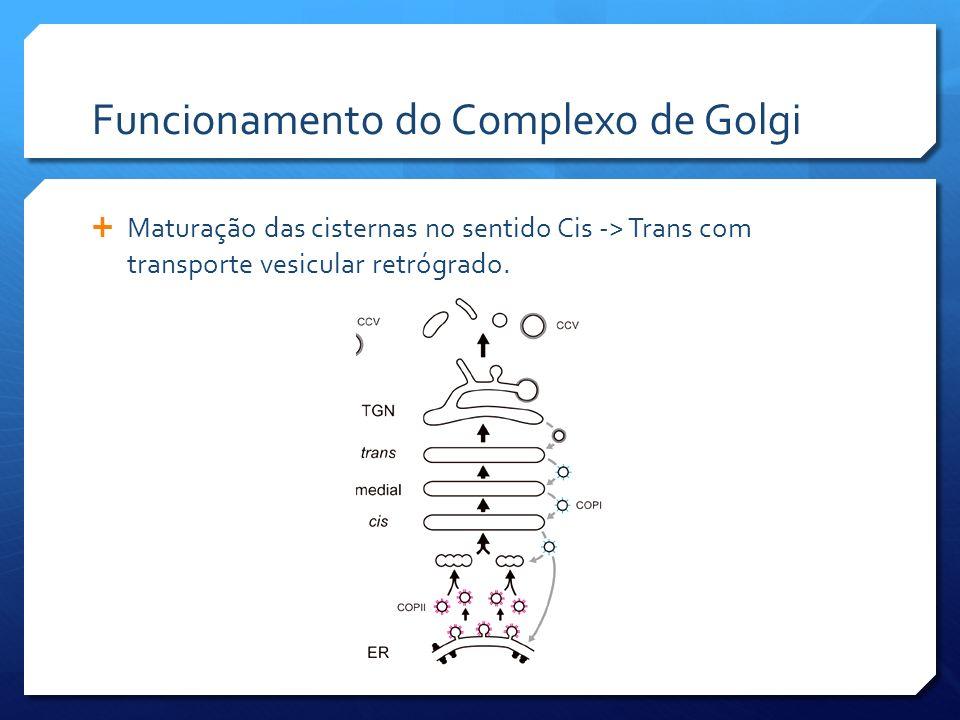 Funcionamento do Complexo de Golgi Maturação das cisternas no sentido Cis -> Trans com transporte vesicular retrógrado.