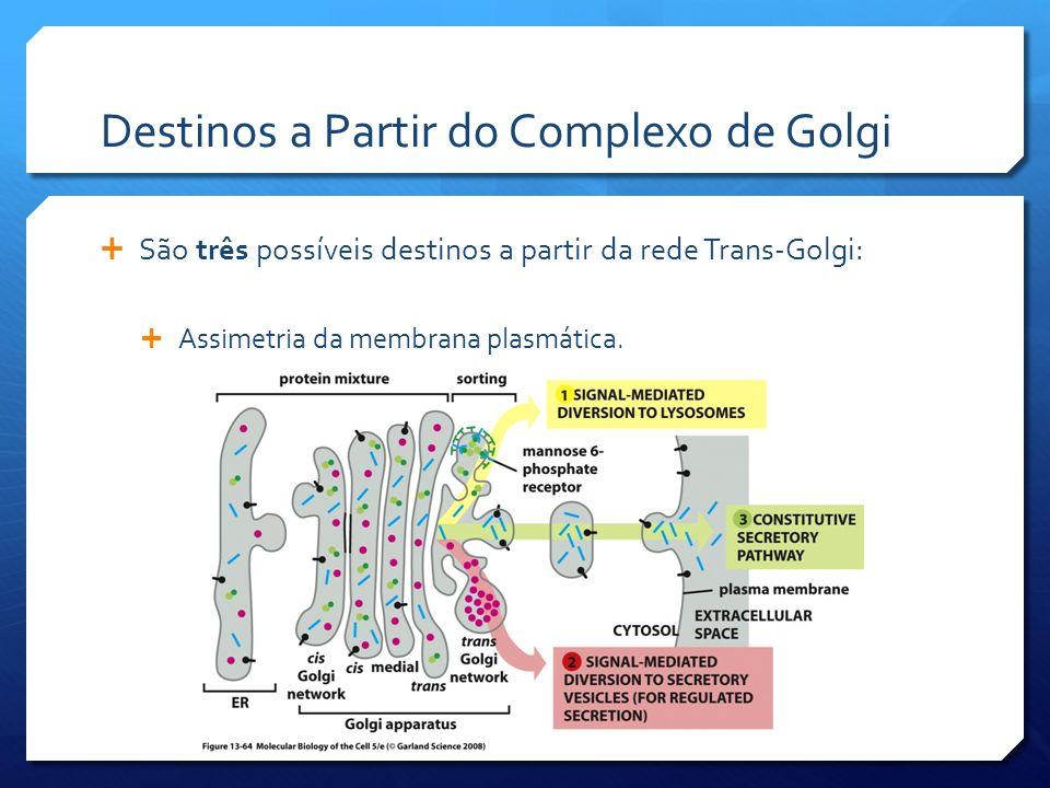 Destinos a Partir do Complexo de Golgi São três possíveis destinos a partir da rede Trans-Golgi: Assimetria da membrana plasmática.