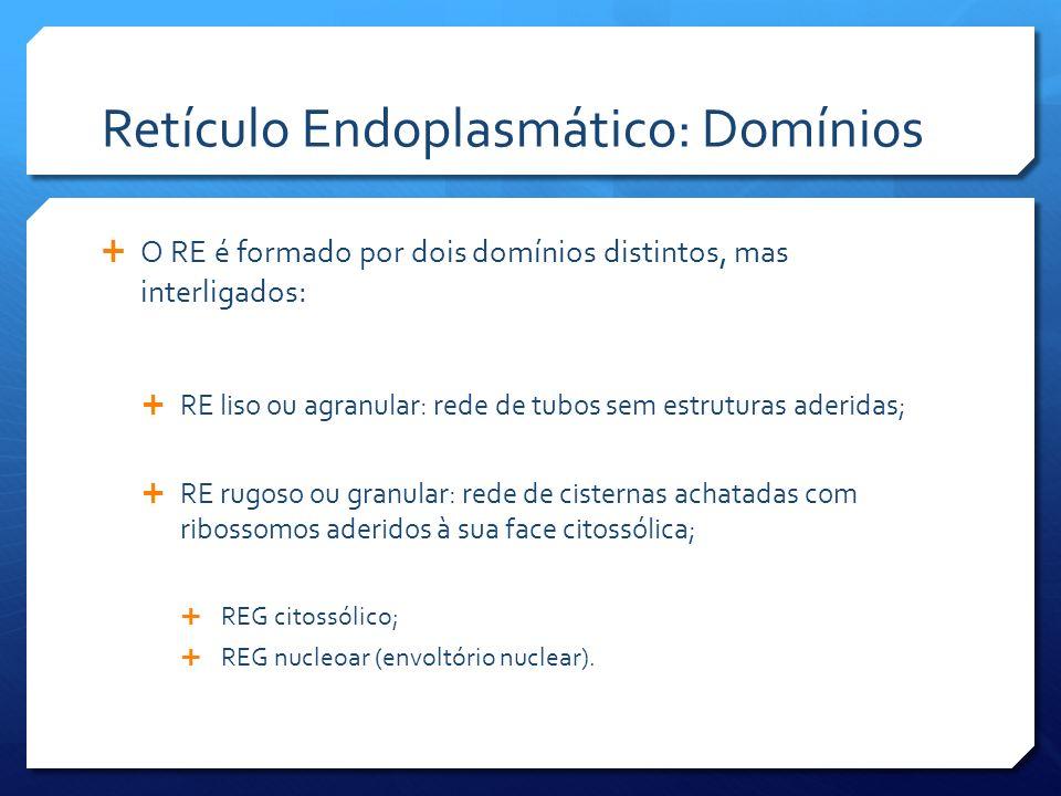 Retículo Endoplasmático: Domínios O RE é formado por dois domínios distintos, mas interligados: RE liso ou agranular: rede de tubos sem estruturas aderidas; RE rugoso ou granular: rede de cisternas achatadas com ribossomos aderidos à sua face citossólica; REG citossólico; REG nucleoar (envoltório nuclear).