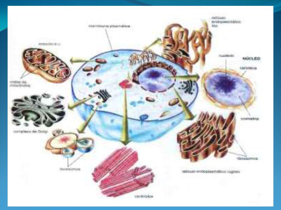 Complexo de Golgi Organela composta por sacos achatados(dictiossomos) e por vesículas do RE liso.