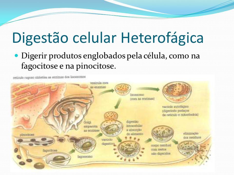 Digestão celular Heterofágica Digerir produtos englobados pela célula, como na fagocitose e na pinocitose.