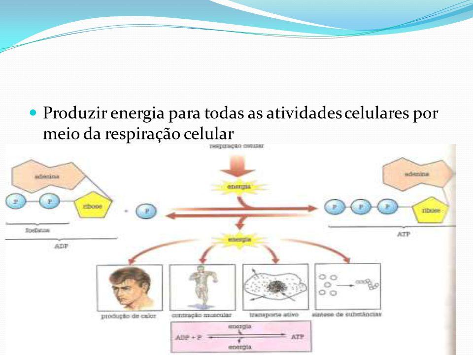 Produzir energia para todas as atividades celulares por meio da respiração celular