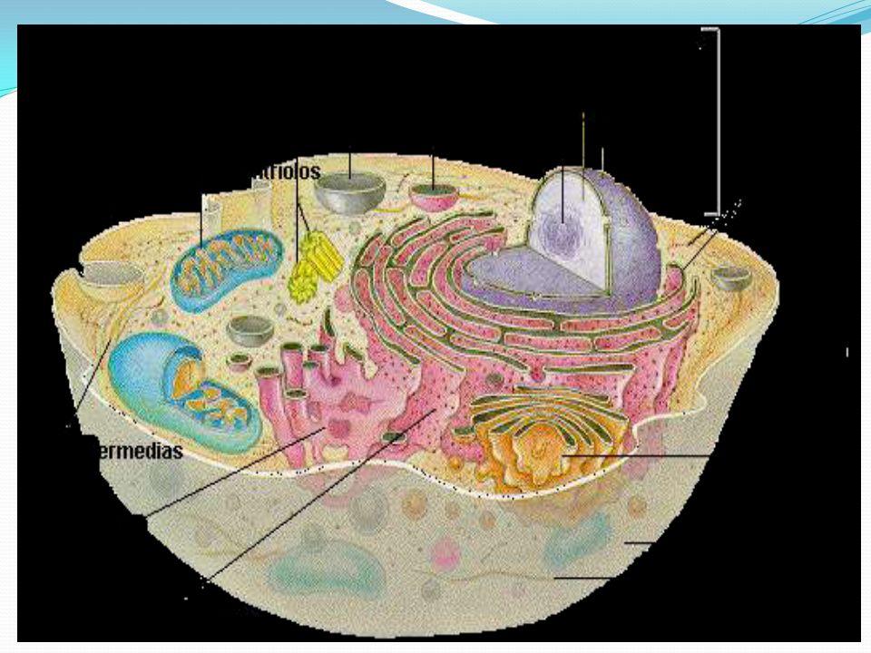 Retículo Endoplasmático Formado por um sistema de membranas intracelulares encontrado em células eucarióticas, dividido em : Retículo Endoplasmático RE Liso(agranular) – Com função de transporte e armazenamento de substâncias e pela síntese de lipídios Formado por sistema tubular.