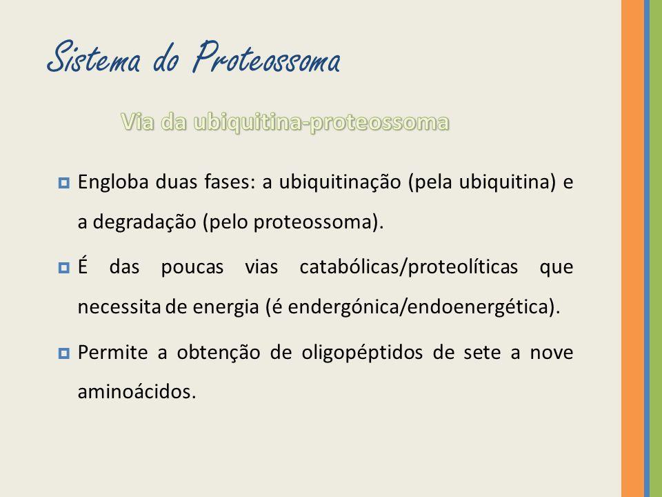 Engloba duas fases: a ubiquitinação (pela ubiquitina) e a degradação (pelo proteossoma). É das poucas vias catabólicas/proteolíticas que necessita de