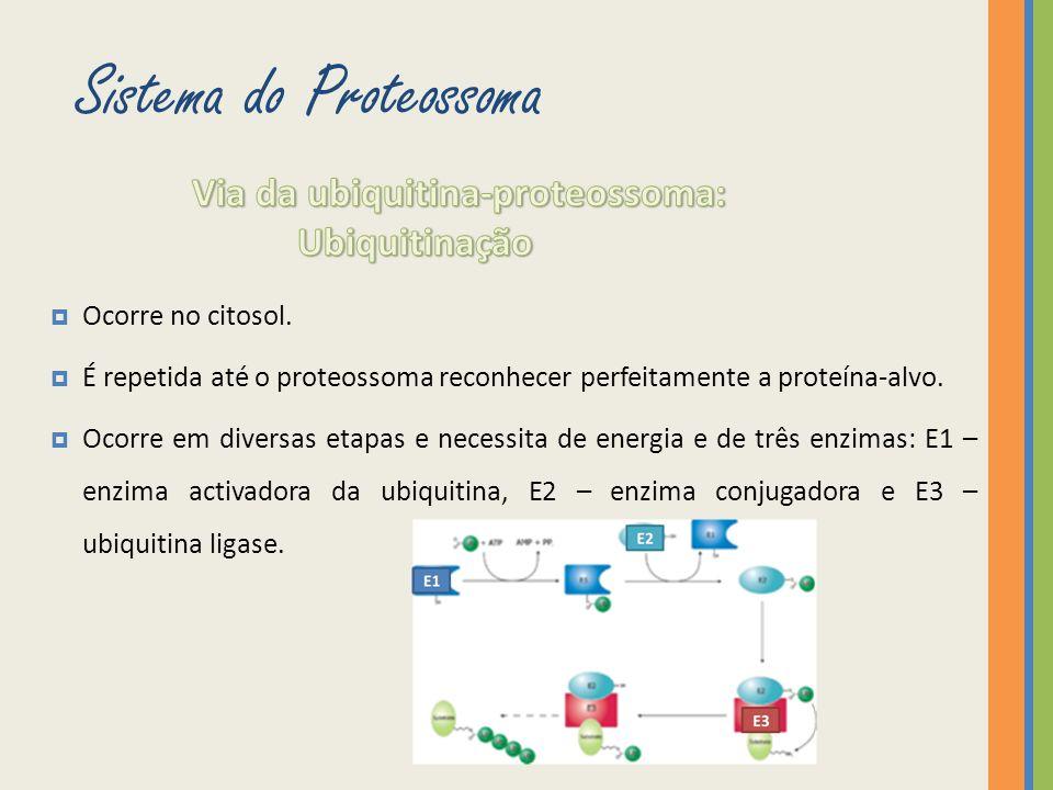 Ocorre no citosol. É repetida até o proteossoma reconhecer perfeitamente a proteína-alvo. Ocorre em diversas etapas e necessita de energia e de três e