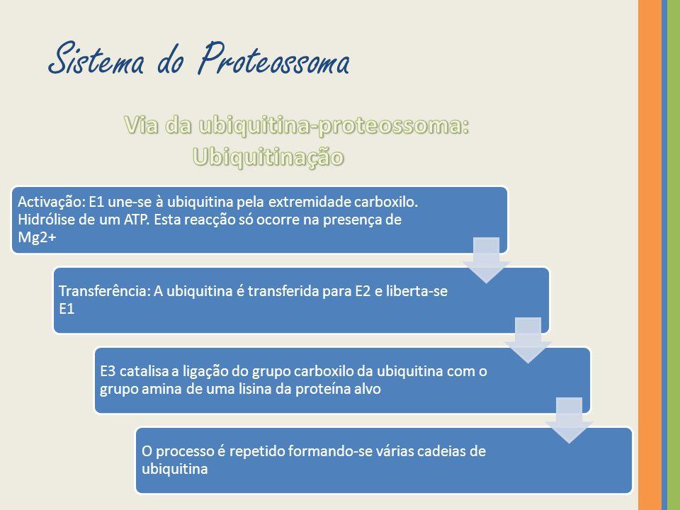 A proteína poliubiquitinada é reconhecida pelo proteossoma.