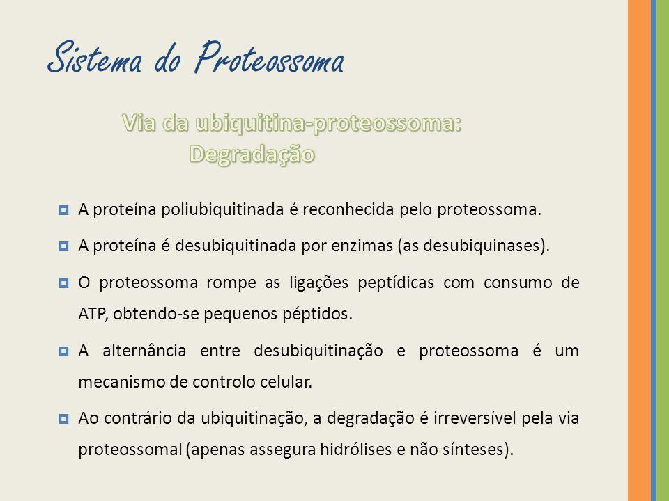 A proteína poliubiquitinada é reconhecida pelo proteossoma. A proteína é desubiquitinada por enzimas (as desubiquinases). O proteossoma rompe as ligaç