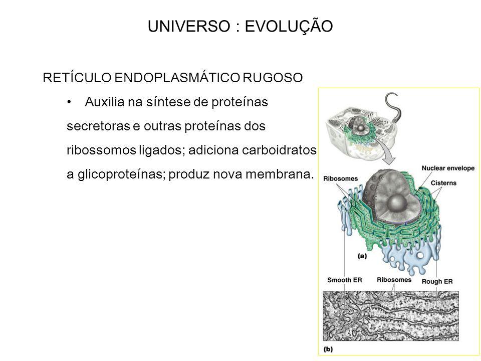 UNIVERSO : EVOLUÇÃO RETÍCULO ENDOPLASMÁTICO RUGOSO Auxilia na síntese de proteínas secretoras e outras proteínas dos ribossomos ligados; adiciona carb