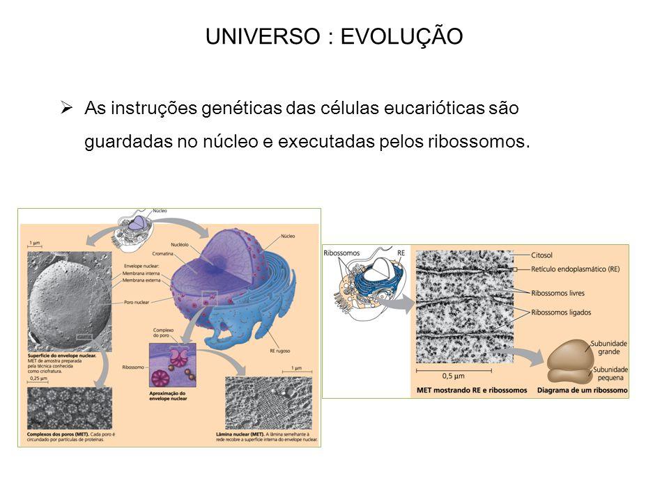 As instruções genéticas das células eucarióticas são guardadas no núcleo e executadas pelos ribossomos.