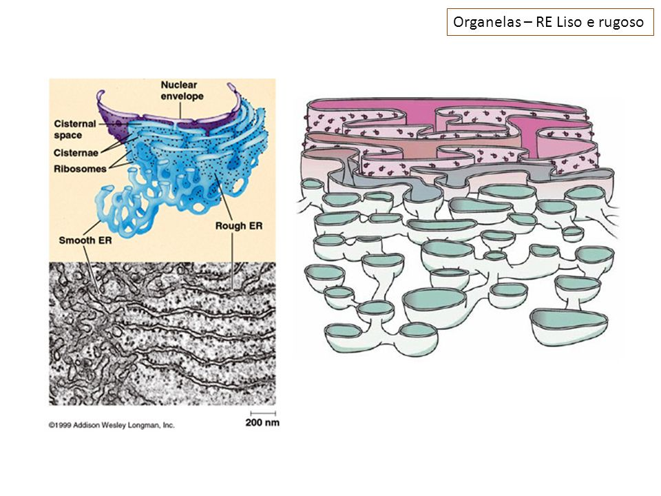Organelas – RE Liso e rugoso