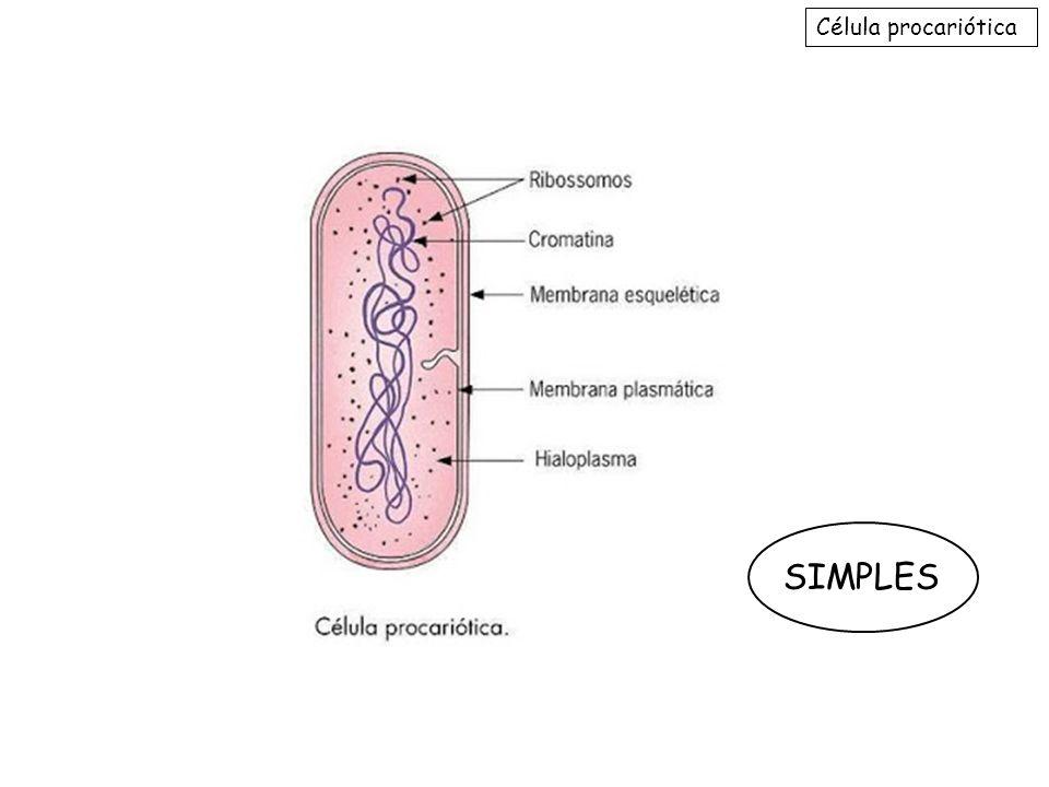 Organelas 5- Ribossomos : Não membranosa, conjunto de proteínas + RNAr; Terminam sua maturação no nucléolo; Realizam síntese protéica; Há livres no citosol e ligados ao RER em células eucarióticas; Existem também em células procarióticas.