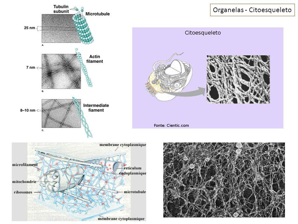Organelas 2a- Cílios: Especializações curtas com arranjos de microtúbulos; São estruturas que possuem movimento (remos); Encontram-se em grande número; Exemplos: Células da traquéia, células das Tubas uterinas e ao redor de certos protozoários.